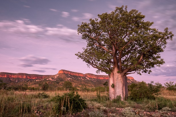 Boab Tree on the Gibb River Road East Kimberley
