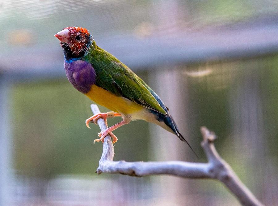 Gouldian Finch Kimberleyland Aviary