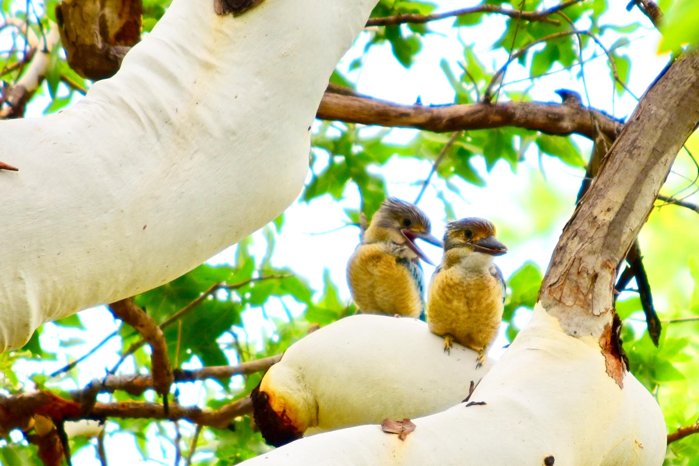 Kookaburras at Kimberleyland