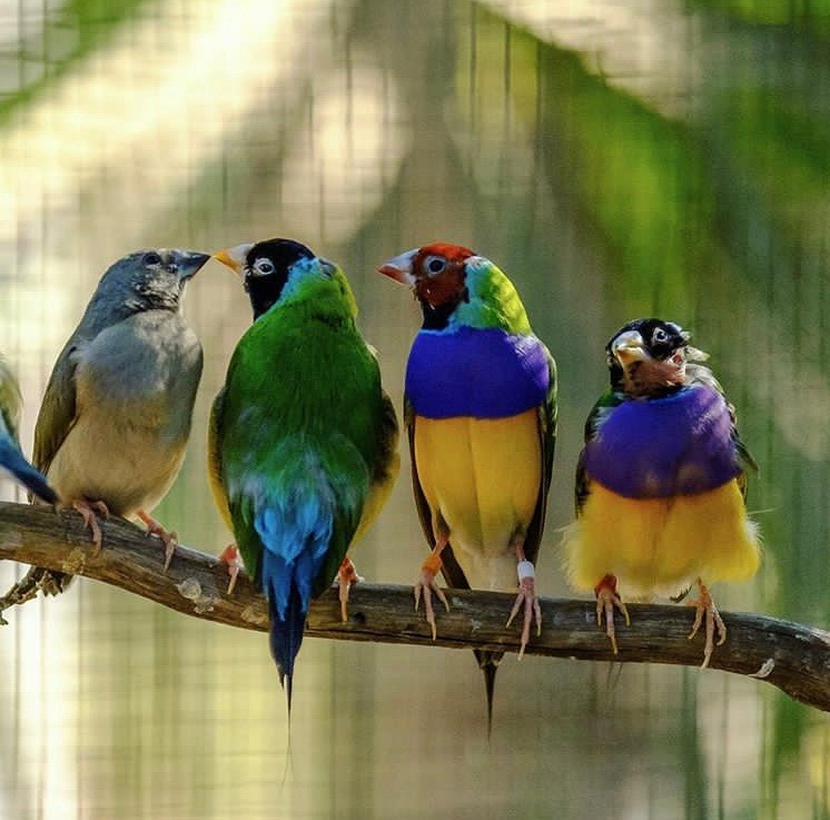 Rare Gouldian Finches