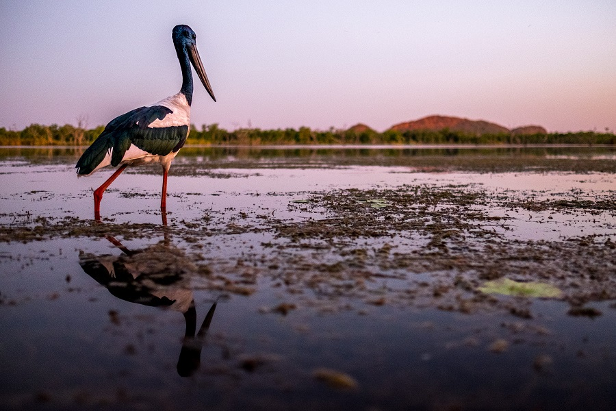 Bird life RAMSAR waterways of Kimberleyland Kununurra