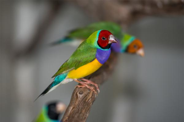 Rare Finch Aviary Gouldian Finches