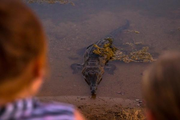 """Croc Watching Sunset Foreshore """"Gummy"""" is toothless"""