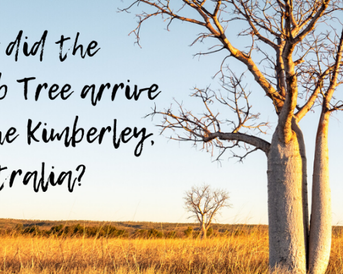 How did the Boab arrive in the Kimberley
